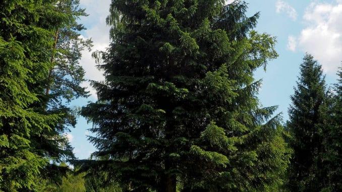 Die Fichte ist der Baum des Jahres 2017.