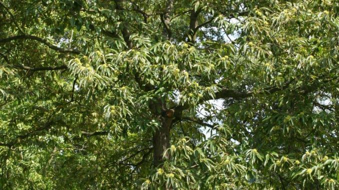 """Die Edelkastanie wurde zum """"Baum des Jahres 2018"""" gekürt."""
