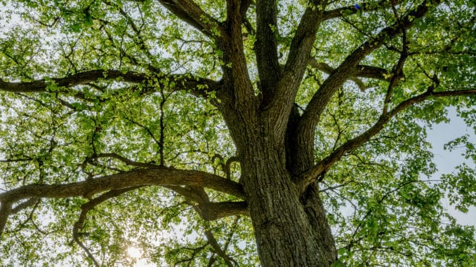 """Im Zeichen von Biodiversität und Nachhaltigkeit: Die Flatterulme ist der """"Baum des Jahres 2019"""". Bild: wikimedia (CC), Henry Kellner."""